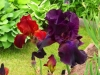 oktobergarten_iris