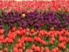 oktobergarten_tulpen