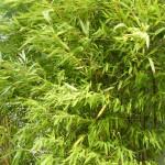 Bambushecken - Ein natürlicher Sichtschutz