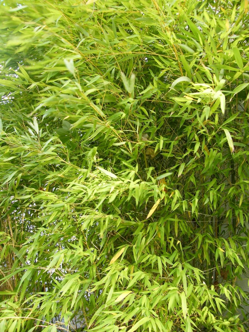 bambushecken als nat rlicher sichtschutzgarten pflanzen. Black Bedroom Furniture Sets. Home Design Ideas