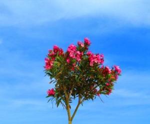 Oleander benötigt viele Nährstoffe