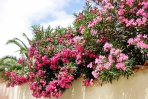 Oleander mit vielen Blüten