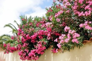 oleander der beliebte rosenlorbeer garten pflanzen. Black Bedroom Furniture Sets. Home Design Ideas