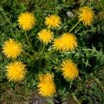 Unkrautpflanzen Löwenzahn