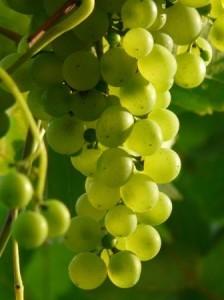 Weintrauben_Licht