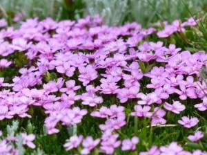 Blumen_ro2