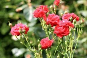 Nov_Rose