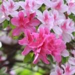 Schöne Magnolie