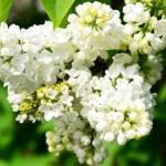 Fliederbusch im Mai