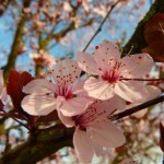 Mandelbäumchen im Mai