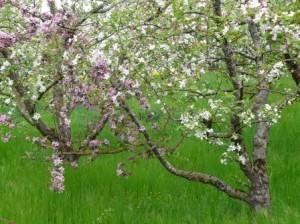 Obstbaum im Garten