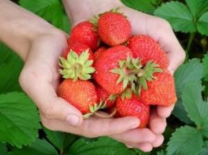 Reife Erdbeeren mit Stiel