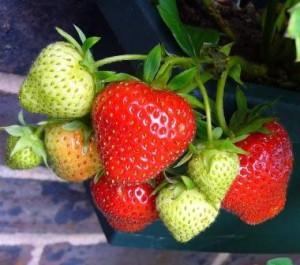 Erdbeeren reif erkennen
