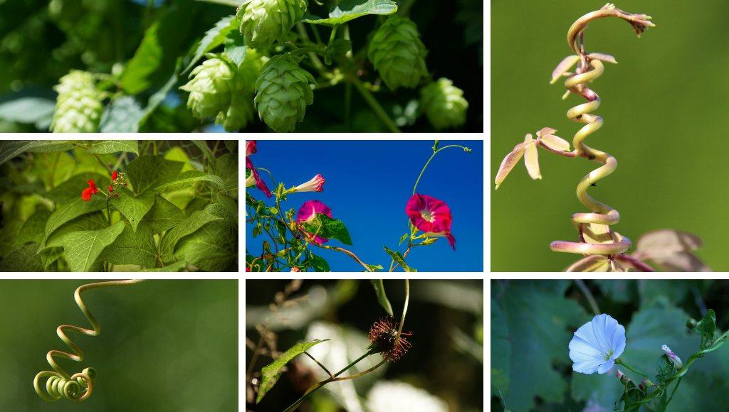 Schlingpflanzen