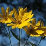 Weiden Sonnenblume