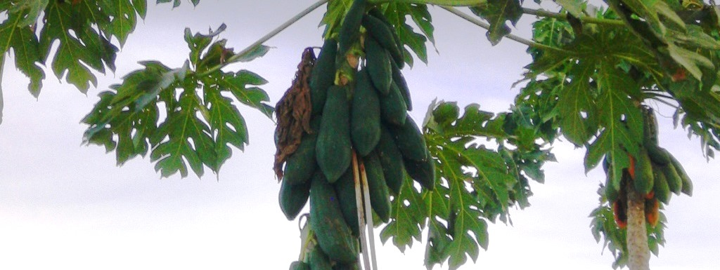 Papaya Baum