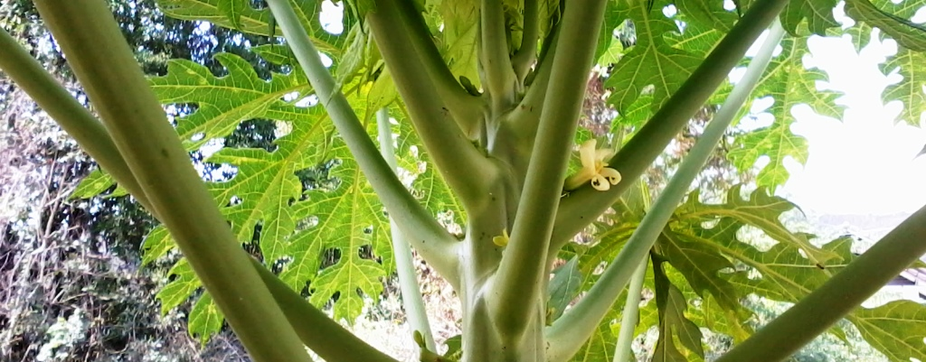 Papaya Blüte