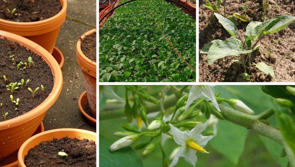 Auberginen Pflanzen