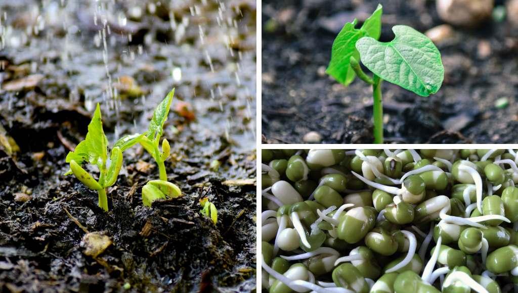 Bohnen Keimlinge und Jungpflanzen